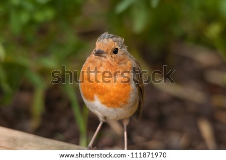 Baby robin red breast - stock photo