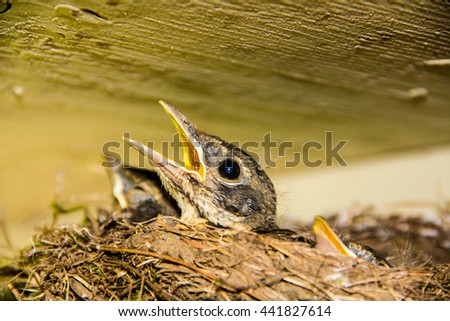 Baby robins in the nest - stock photo