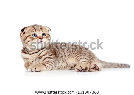 baby Scottish fold kitten lying on floor isolated on white - stock photo