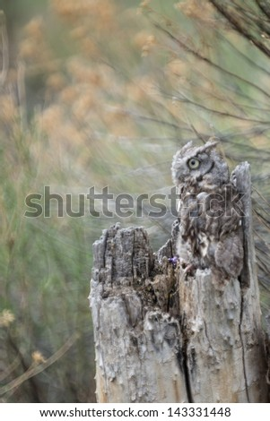 Baby Screech Owl camouflaged in a tree stump - stock photo