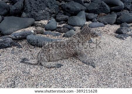 baby sea lion of Galapagos  - stock photo
