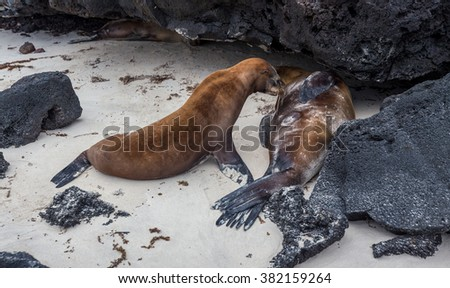 baby sea lion pup with mother in the Galapagos. - stock photo