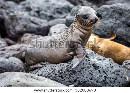 baby sea lions in san cristobal galapagos islands ecuador - stock photo