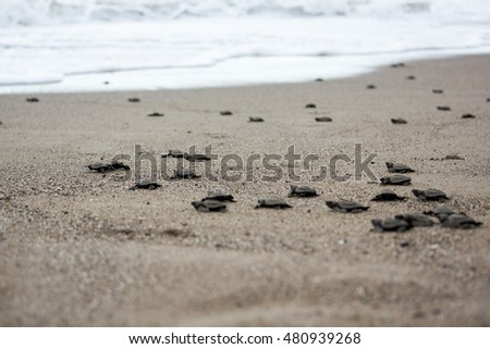 Baby sea turtle release beach liberation