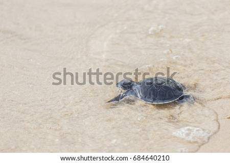 Baby sea turtle walks sand towards stock photo 100 legal baby sea turtle walks in the sand towards the ocean following its instincts only 1 publicscrutiny Gallery