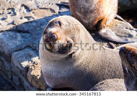 Baby Seal at Kaikoura, New Zealand.
