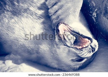 Baby seal close to his mom. Antarctica - stock photo