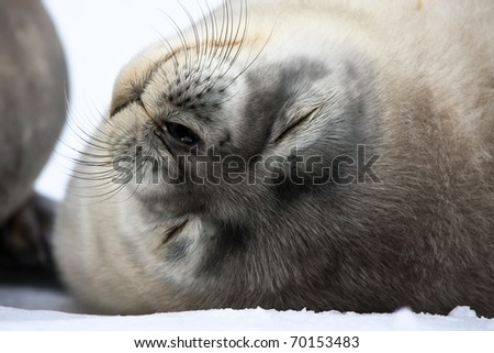 Baby seal close to mom. Antarctica - stock photo