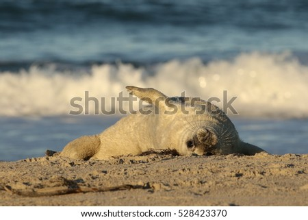 Baby seal rolling in the sand on the beach upside down and looking at you with wave in the background