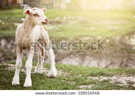 Baby sheep - stock photo
