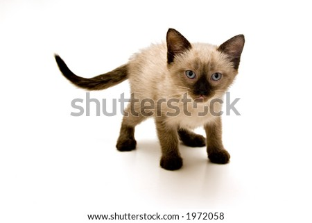 Baby siamese kitten on white background.