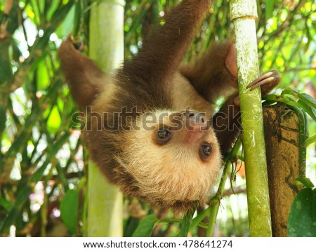Baby sloth hanging on a branch