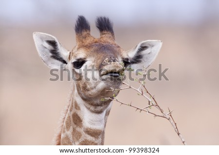 Baby Southern Giraffe (Giraffa camelopardalis) eating leaves, South Africa - stock photo