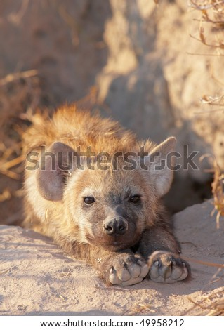 Baby Spotted hyaena (Crocuta crocuta) lying on the ground in South Africa - stock photo