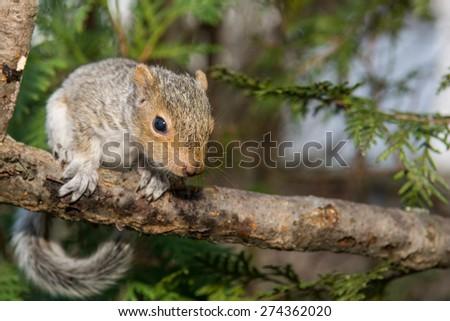Baby Squirrel  - stock photo