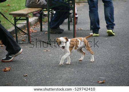 Baby Stafford-shire Terrier walking
