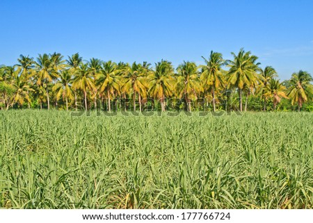 Baby sugar cane farmland and coconuts on blue sky background - stock photo