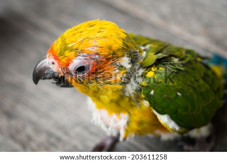 Baby Sun Conure Parrot on the wooden background - stock photo