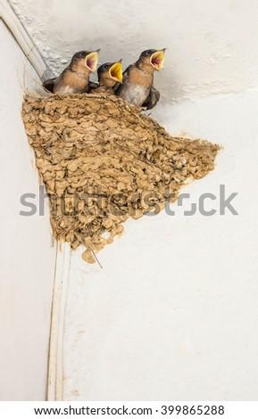 Baby swallow birds in nest. Focus on big baby bird. - stock photo