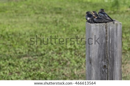 Baby Swallows Sitting on a Wooden Post Waiting for Mommy Bird