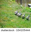 Baby swans on the grassy coast walking in line - stock photo