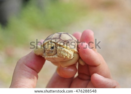 Baby Tortoise Hatching (Africa spurred tortoise), Hand holding newly hatched , Small tortoise Hand holding newly hatched baby tortoise