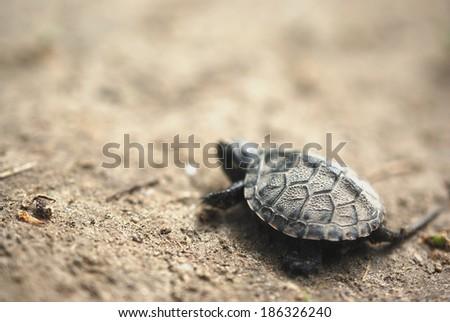 Baby turtle - stock photo