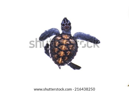Baby turtle   isolated on the white background - stock photo