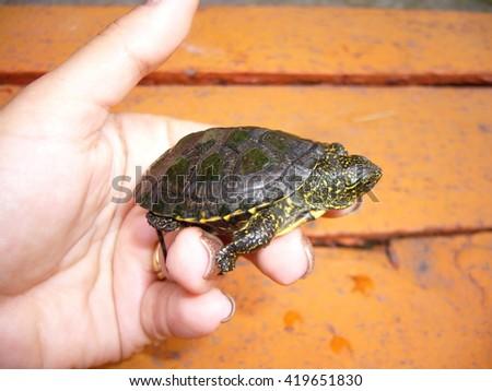 baby turtle on hand - stock photo