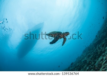 Baby turtle swimming down under boat diving in maldives water - stock photo