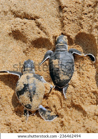 Baby turtles moving towards the ocean - stock photo