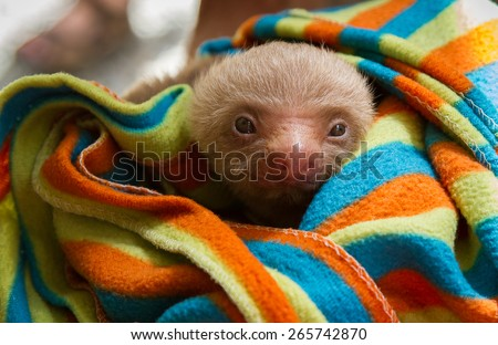 Baby Two Toed sloth wrapped in a colorful blanket  - stock photo
