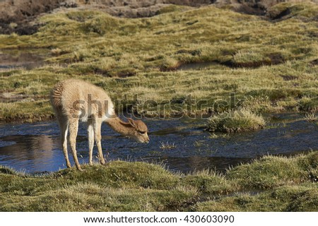 Baby vicuna (Vicugna vicugna) grazing in a wetland in Lauca National Park on the Altiplano of north east Chile. - stock photo