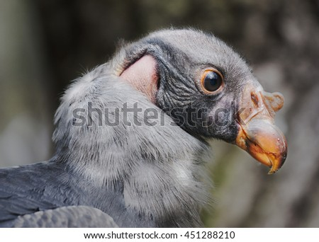 Baby vulture portrait - stock photo