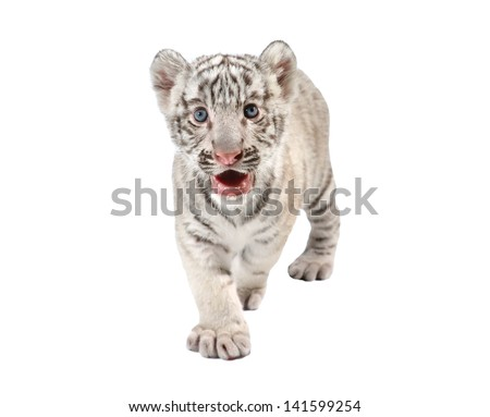 baby white bengal tiger isolated on white background - stock photo