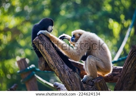 Baby white cheeked gibbon or Lar gibbon with family sat looking face on the timber. - stock photo