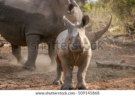 Baby White rhino with his mother in the Kruger National Park, South Africa.