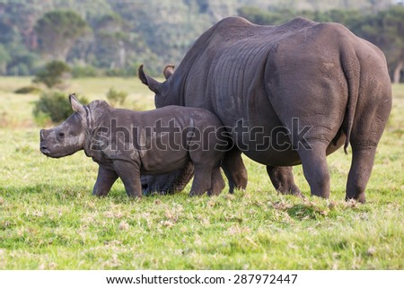 Baby white rhino with the start of a horn and ears pricked