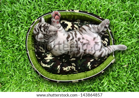 baby white tiger laying in a mattress on green grass