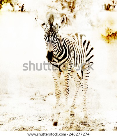 Baby Zebra - stock photo