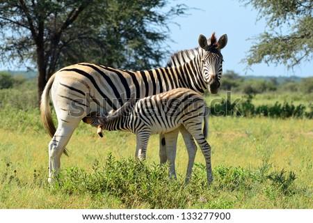 baby zebra at breast-feeding - stock photo