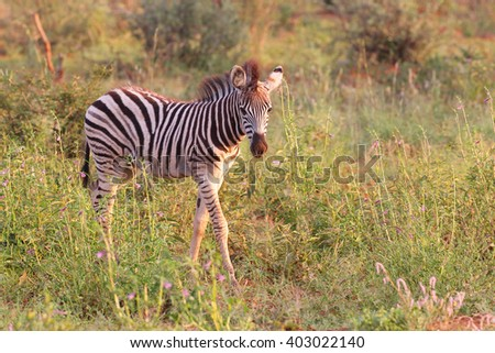 Baby zebra standing in grassland, South Africa - stock photo