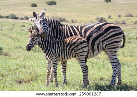 Baby zebra with it's mother showing love and affection