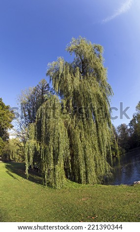 babylon weeping willow - stock photo