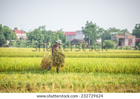 BAC GIANG, VIETNAM - JUNE 1: Farmers plant rice in rice field, June 15, 2014 in BAC GIANG, VIETNAM. VIETNAM is currently the worlds largest producer of rice in the world