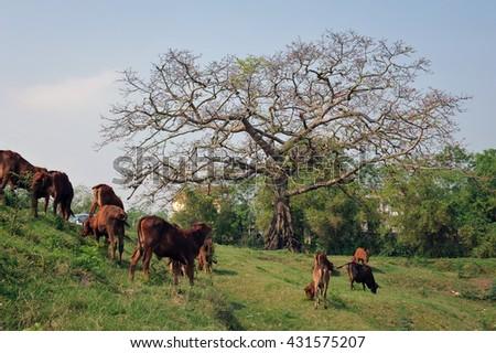 BAC Ninh, Vietnam, May 4, 2016 grazing cows, rural Bac Ninh, Vietnam