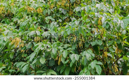 Baccaurea ramiflora flower  on the tree , Sweet Baccaurea ramiflora - stock photo