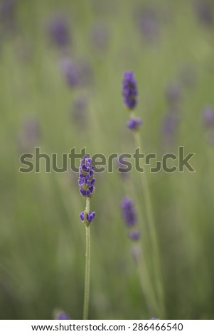 Bachgroun of a Lavender flowers field in a cloudy day - stock photo