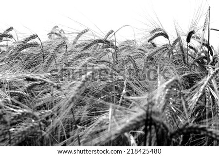 Back and white Barley crop seed growing in rural England Summer. Close up of Barley seed showing texture and detail  - stock photo