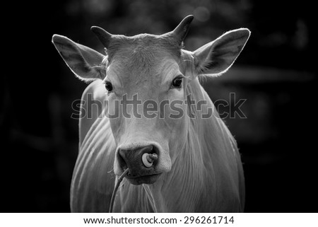 Back and white image of Cows are looking to shoot. - stock photo
